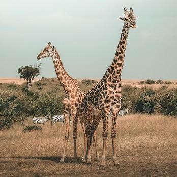 Giraffen in der Landschaft