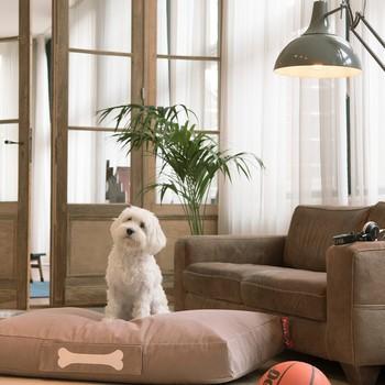 Weißer Hund auf seinem Bettchen im Wohnzimmer