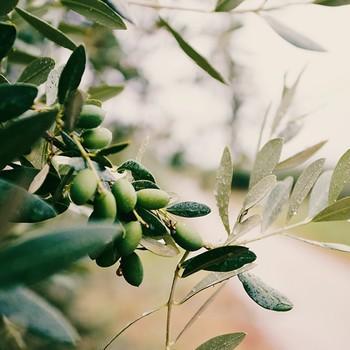 1 Olivenbaum
