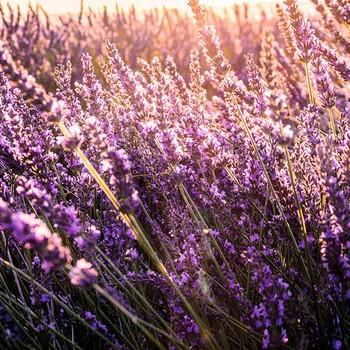 2 Lavendel